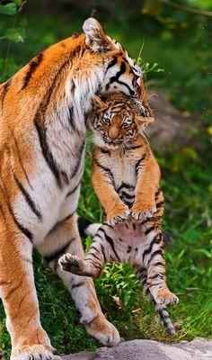 tiger-cub-01