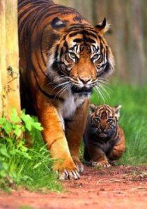 tiger-cub-02