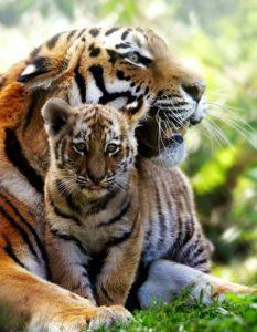 tiger-cub-04