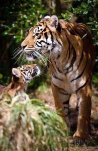 tiger-cub-05