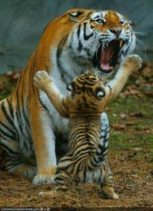 tiger-cub-06